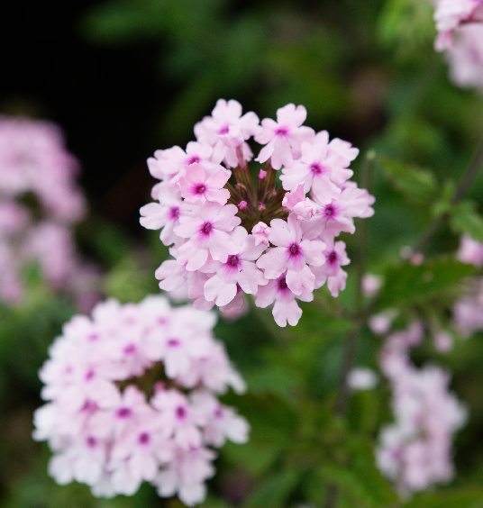 Verbena 'Margaret's Memory' launched by Peter Seabrook